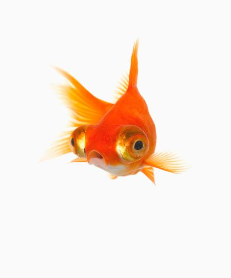 -goldfish-with-big-eyes-don-farrall