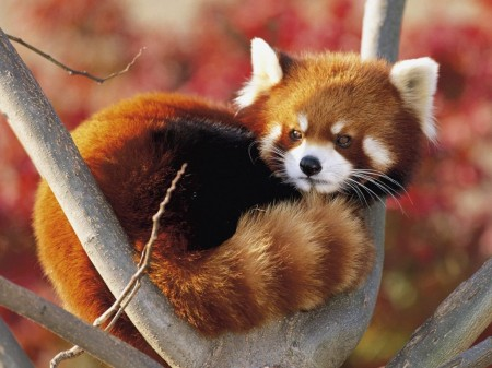 Graceful-Red-Panda-Is-Sitting-On-Tree